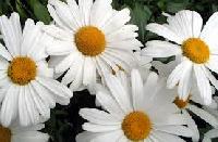 Spring Blooms ATC Series #4 Dasies
