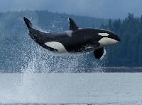 APDG - June: Orca Awareness Month