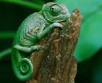 Quick Chameleon ATC