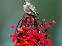 Birds and Berries ATC