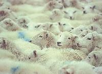Sheep Post Card